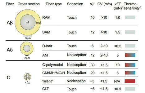 Acid Sensing By Sensory Neurons in Inflammation | Neuro-Immune Regulatory Pathways | Scoop.it