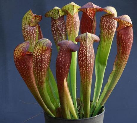 La Sarracenia, la plante carnivore qui tue les frelons asiatiques | pour un monde durable | Scoop.it