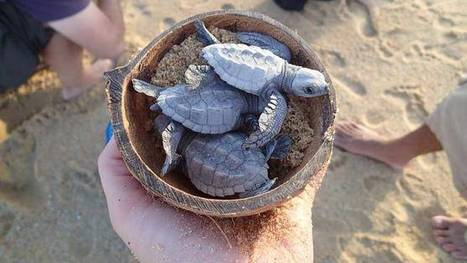 Turtle-hatching time draws Baja tourists | The Joy of Mexico | Scoop.it