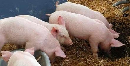 Peste porcine : démission du ministre polonais de l'Agriculture | agro-media.fr | Actualité de l'Industrie Agroalimentaire | agro-media.fr | Scoop.it