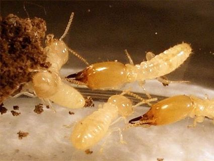 Knock the Termites Out of Home This Season | Home Termite Control | Scoop.it