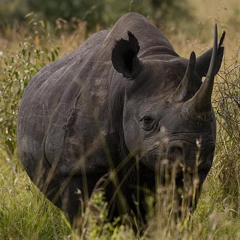 The western black rhinoceros is extinct | Cool Facts | Scoop.it