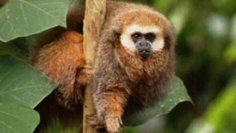 Protection du singe Titi de San Martin au Pérou | Protection animale | Scoop.it