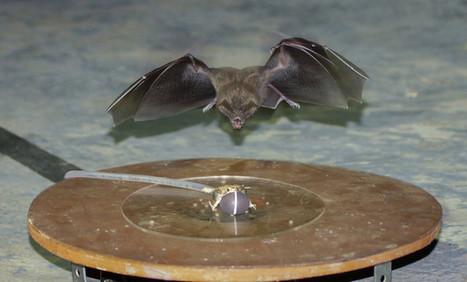 El ruido humano obliga a este murciélago a cambiar de táctica para cazar | Educacion, ecologia y TIC | Scoop.it