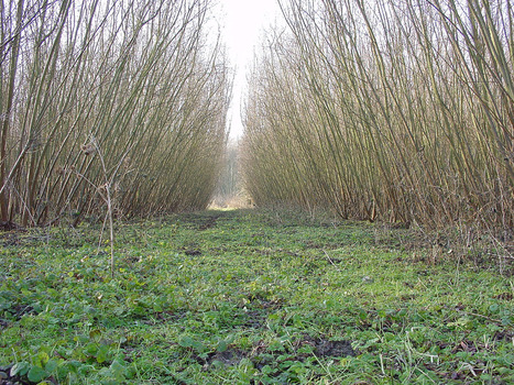 Energy crops: study shows increased biodiversity - Bioenergy Crops   Bioenergy Crops   Scoop.it