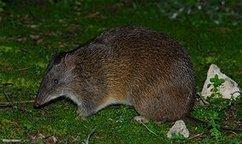 Loss of 'diggers' threaten ecosystem - ABC Science Online | Australian Wildlife - The Woylie | Scoop.it