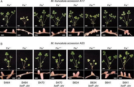 Rhizobial peptidase HrrP cleaves host-encoded signaling peptides and mediates symbiotic compatibility | Plant-Microbe Interaction | Scoop.it