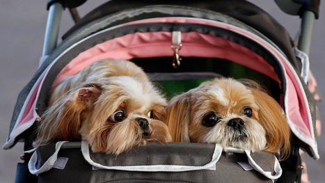 Americans are having dogs instead of babies | Dogs | Scoop.it