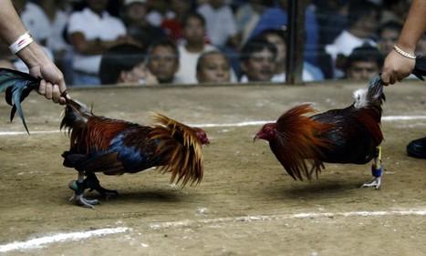 'Chicken boxing is not cockfighting' | Animal Cruelty | Scoop.it