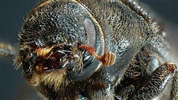 Combat contre le dendroctone du pin : la Saskatchewan, une province de l'ouest du Canada, injecte 1,1 M$ | EntomoNews | Scoop.it