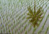 Symposium ISRFG 2016 : préparer la riziculture du futur - CIRAD | Ecosystèmes Tropicaux | Scoop.it