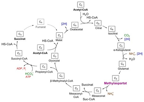The ISME Journal - Abstract of article: The methylaspartate cycle in haloarchaea and its possible role in carbon metabolism | 細菌曼波 | Scoop.it