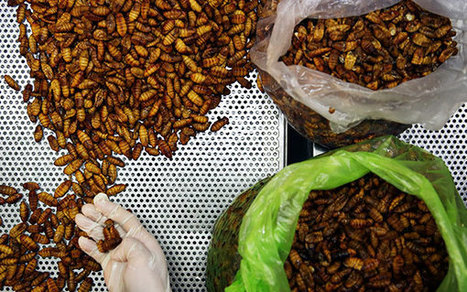 Edible Insects as an Integrated Component of Sustainable Food Systems | Chicago Council on Global Affairs | Agriculture, Climate & Food security | Scoop.it