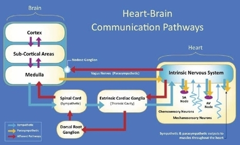 Thinking from the Heart – Heart Brain Science | Science Is Good For Your Brain | Scoop.it