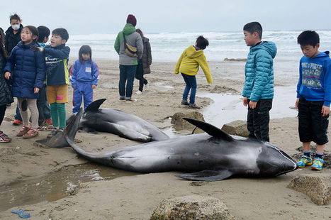 "Nearly 150 Dolphins Die In Mass Beaching On Japan's Coast (""the oceans have turned upside down"") 