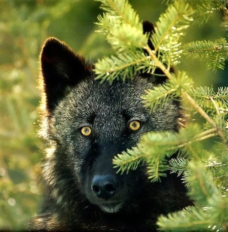 White Wolf : Stunning Photographs Showcase the Beauty of Black Wolves | Oceans and Wildlife | Scoop.it