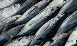 Overfishing puts $42bn tuna industry at risk of collapse | sustainablity | Scoop.it