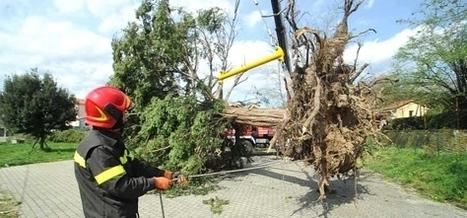 Tasso secolare sradicato dal vento torna a nuova vita | #chicercate | Scoop.it