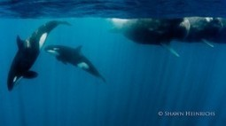 Photographer Captures Dramatic Battle Between Orcas and Sperm Whales | | Indigo Scuba | Scoop.it