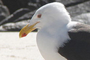 Are seagulls killing whales in Patagonia? | In Deep Water | Scoop.it