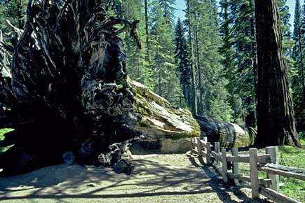 Giant Sequoias in the Park | Yosemite research paper | Scoop.it