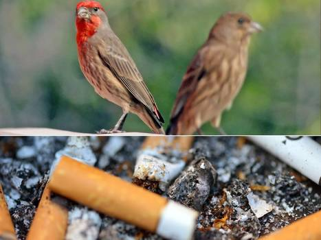 Marlboro palace: how city birds feather their nests | BIOSCIENCE NEWS | Scoop.it