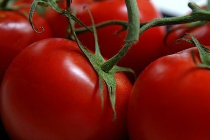 Growing Tomatoes - Should You Remove Lower Leaves? | Gardening | Scoop.it