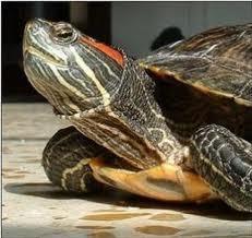 Tortugas de tierra dentro de la casa: luz y temperatura : TiendAnimal | Noticias Animales [Pet news] | Scoop.it