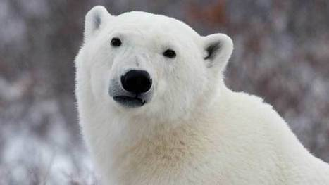 Polar bears to be listed as species at risk in Canada | Wildlife | Scoop.it
