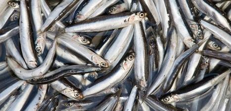 Evolution : un anchois peut en cacher un autre | Biodiversité | Scoop.it