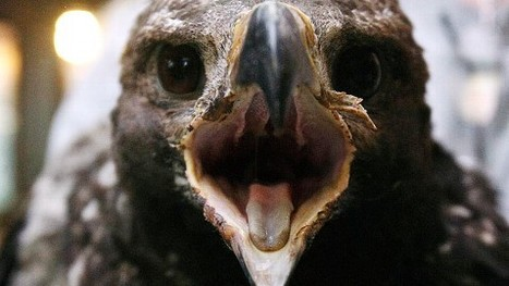 Baby Golden Eagle Survives Wildfire | READ WHAT I READ | Scoop.it