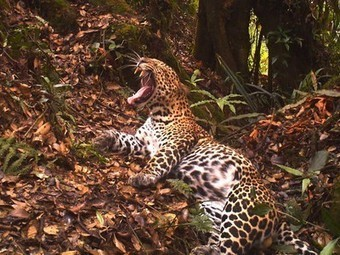 Camera trap captures stunning footage of a rare Javan leopard | Biodiversity protection | Scoop.it