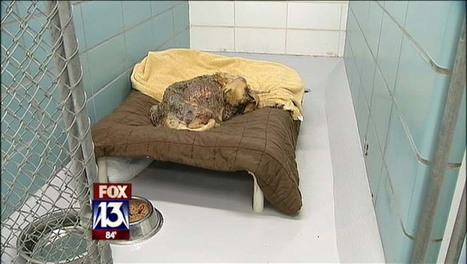 Neglected, wounded dog was melded to carpet | Animals R Us | Scoop.it