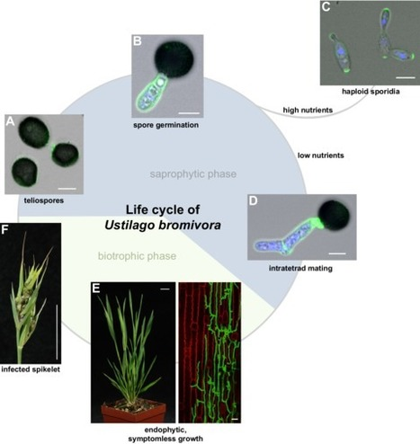 eLife: A complete toolset for the study of Ustilago bromivora and Brachypodium sp. as a fungal-temperate grass pathosystem (2016) | microbial pathogenesis and plant immunity | Scoop.it