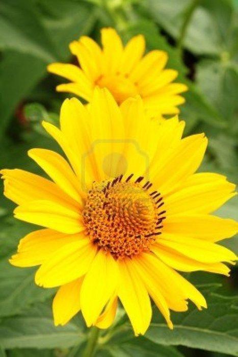 7419508-dos-flores-de-color-amarillo-arnica-entre-verde-deja-en-el-jardin.jpg (801x1200 pixels) | El Arnica | Scoop.it