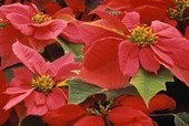 Poinsettia's Poisonous Reputation Persists, Despite Proof to the Contrary — Ohio State University Extension   Christmas Trees and More   Scoop.it