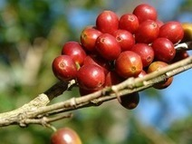 Does Terroir Matter in Coffee? | Serious Eats: Drinks | On the Plate | Scoop.it