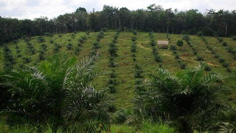 Huile de palme en Indonésie : faux procès et vraies préoccupations - RFI | Planete DDurable | Scoop.it