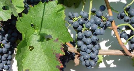 Le gamaret : un fort potentiel... de rentabilité   mon-ViTi   Du raisin au vin   Scoop.it