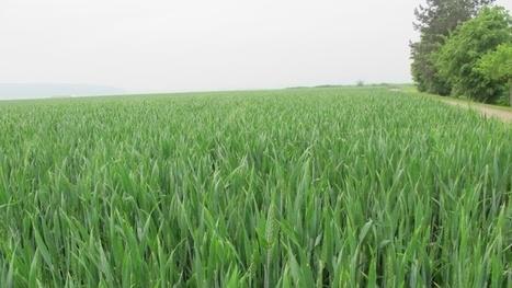 Teneur en protéines des blés français - Un plan d'actions pour éviter ... - Terre-net | veille Lycée La touche Agriculture et Santé | Scoop.it
