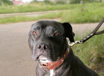 State May Of Had Enough With Pit Bulls | Massachusetts Personal injury Attorney | Scoop.it