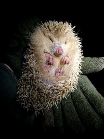 Blond hedgehogs, and more alluring strangeness of the Channel Islands | Vloasis humor | Scoop.it
