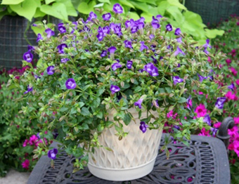 Easy-care Container Flowers from The Suntory Collection Add Color to Any Outdoor Space | Garden Media Group | Scoop.it