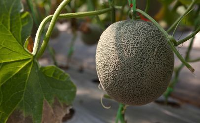 A Death, A Miscarriage and Another Cantaloupe Recall   Food issues   Scoop.it