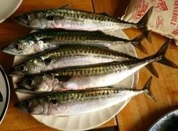 Supermarkets say they won't buy Scottish mackerel - Rob Edwards | Business Scotland | Scoop.it