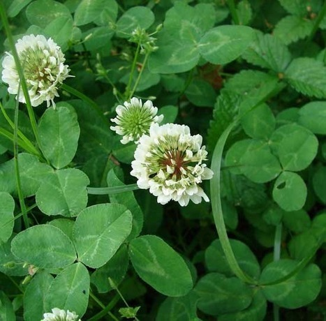 6 Reasons Why I Chose Clover as a Living Mulch   Permaculture, Philosophy & a sustainable future   Scoop.it