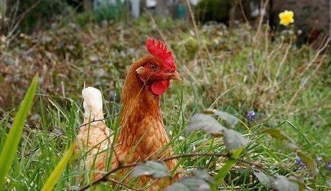 En Dordogne, des poules pour réduire les déchets ménagers   1FORMANET - Mes plaisirs   Scoop.it