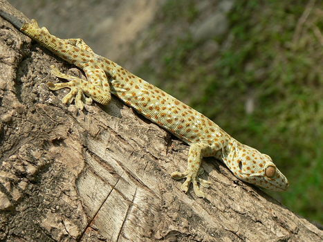 Geckos, The Superstars of Bioinspired Adhesion | Biomimicry | Scoop.it