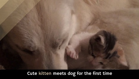Cute kitten meets dog for the first time [video] | Caring About Pets | Scoop.it
