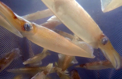 Is Ocean Acidification Affecting Squid? | Climate Change and the Oceans | Scoop.it